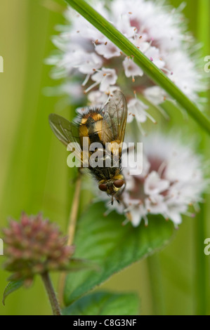 The fly Tachina Fera resting on a flower - Stock Photo