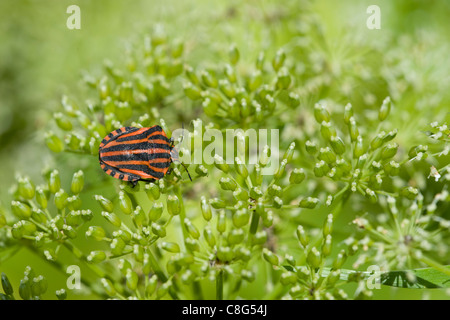 The shield bug Graphosoma lineatum from the family  Pentatomidae - Stock Photo