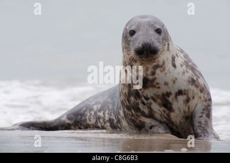 grey seal; Latin: Halichoerus grypus - Stock Photo