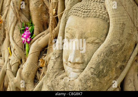 the head of the sandstone buddha image in roots of bodhi tree, Ayutthaya,Thailand - Stock Photo