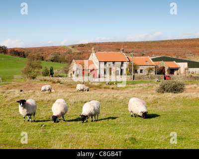 Sheep graze on common land in front of homes and farm in the hamlet of Greenhouses Lealholm North Yorkshire - Stock Photo