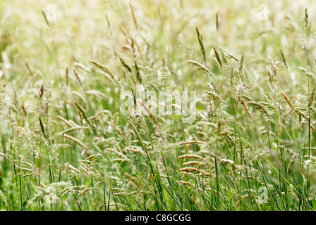 Holcus lanatus, Yorkshire Fog grass in flower - Stock Photo