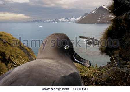 A light-mantled sooty albatross looks down on Gold Harbour. - Stock Photo