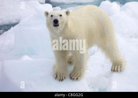 Polar bear on sea ice off coast of Spitzbergen, Svalbard, Arctic Norway, Scandinavia - Stock Photo
