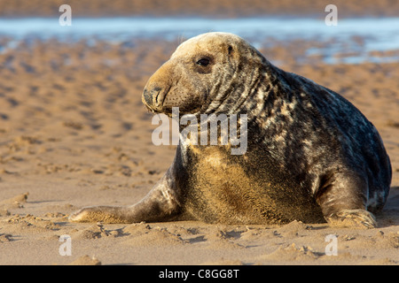 Grey seal (Halichoerus grypus) bull, Donna Nook, Lincolnshire, England, United Kingdom - Stock Photo