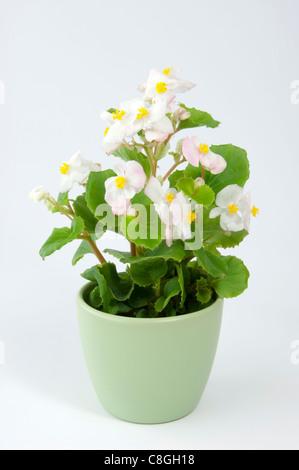 Wax Begonia, Wax-leaf Begonia (Begonia x semperfloren-cultorum), White flowering potted plant - Stock Photo