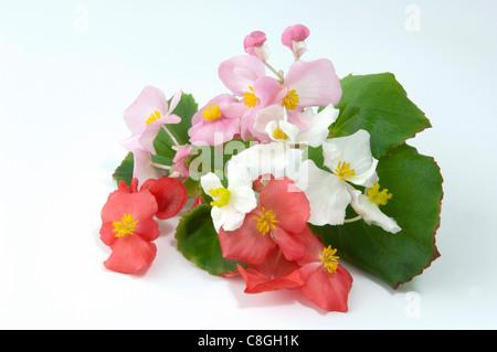 Wax Begonia, Wax-leaf Begonia (Begonia x semperfloren-cultorum). Flowering stems of different colors. - Stock Photo