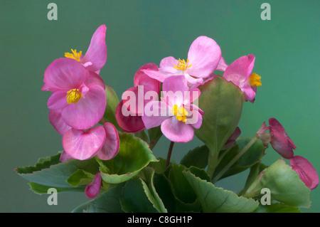 Wax Begonia, Wax-leaf Begonia (Begonia x semperfloren-cultorum), pink flowering plant. - Stock Photo
