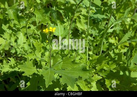 Turnip Top, Turnip Greens (Brassica rapa ssp. silvestris ...