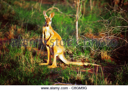 A kangaroo sits along the river bank in North West Australia. - Stock Photo
