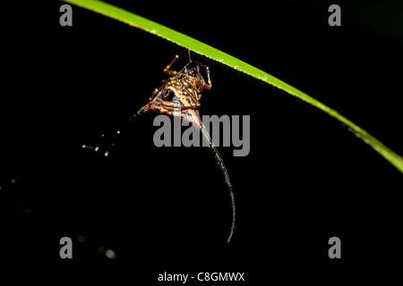 Spiny crab orbweaver spider Gasteracantha arcuata, Kinabatangan, Sabah, Borneo, Malaysia - Stock Photo