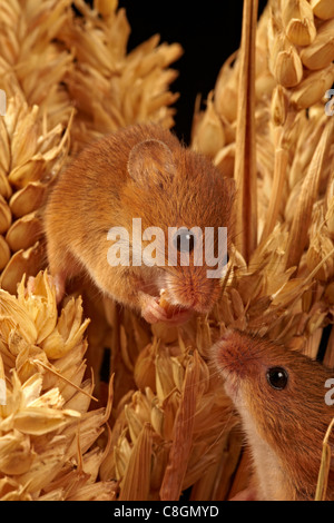 Pair of harvest mice on wheat Micromys minutus - Stock Photo