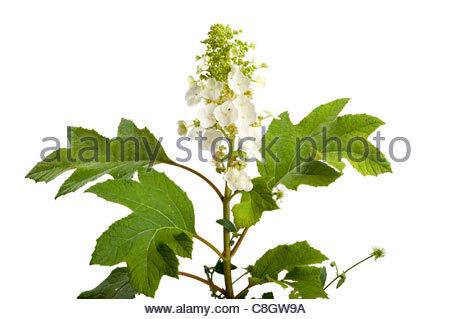 Oak leaf hydrangea, Hydrangea quercifolia. - Stock Photo