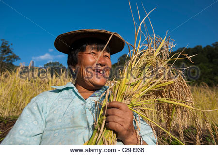 Rice harvesting in east Bhutan. - Stock Photo