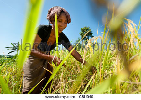 Harvesting rice in the Chittagong Hill Tracts. - Stock Photo