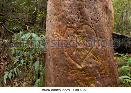 A love heart carved into the trunk of an eucalyptus tree. - Stock Photo