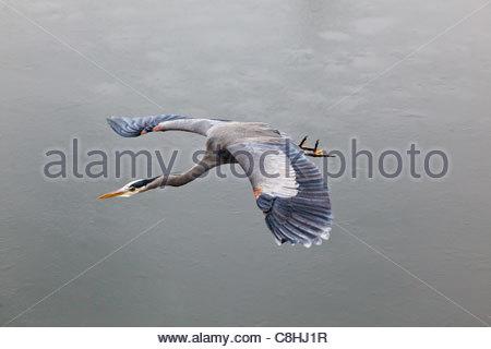 Great Blue Heron (Ardea herodias) in flight. - Stock Photo