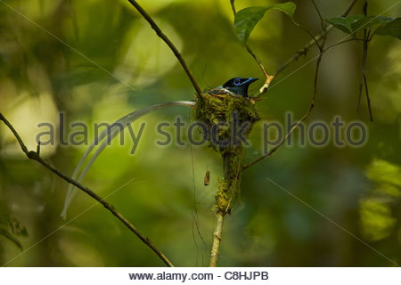 A male Asian paradise flycatcher, Terpsiphone paradisi, on it's nest. - Stock Photo