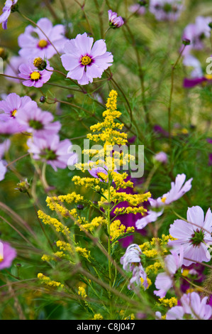 Goldenrod and Cosmos - Stock Photo