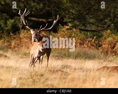 Red deer stag chasing hind during rut - Stock Photo