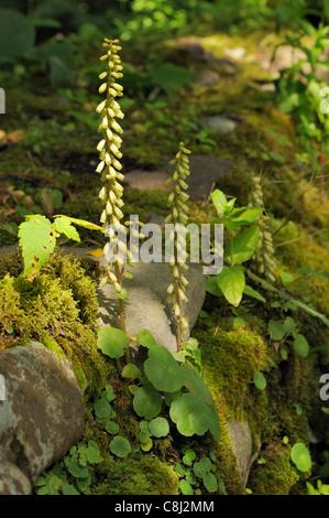 Navelwort or Wall Pennywort, umbilicus rupestris - Stock Photo