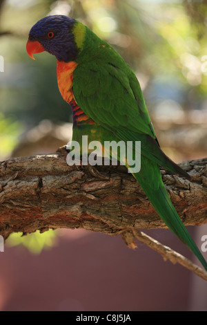 Rainbow Lorikeet, Trichoglossus haematodus, Australian parrot, rainforest, woodland, Australia, bird, hole breeders, - Stock Photo