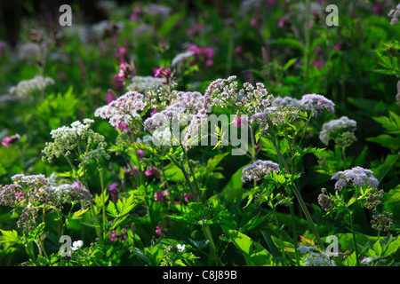 Alps, Alpine flora, alpine lovage, mountain flowers, mountain flora, mountain spring, canton Bern, Bernese Oberland, - Stock Photo