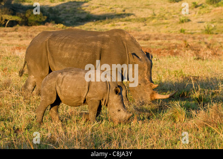 White rhinoceros mother and baby grazing in iSimangaliso Wetland Park, South Africa - Stock Photo