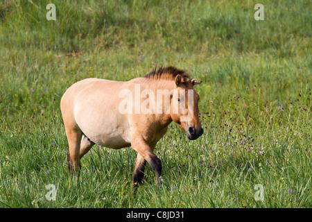 Przewalski horse in a field in Mongolia - Stock Photo