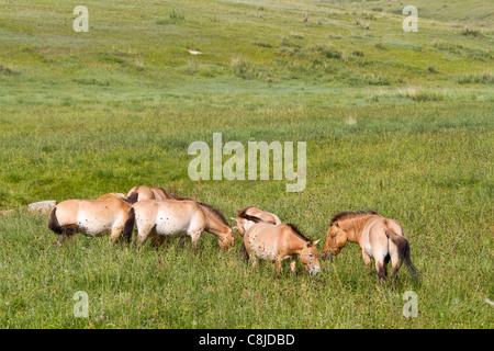 Przewalski horses in a field in Mongolia - Stock Photo