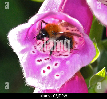 This is the Field Bumble Bee (Bombus pascuorum) collecting nectar in the early morning sunshine from a Foxglove - Stock Photo
