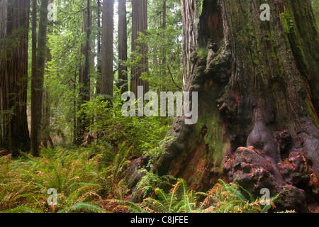 CALIFORNIA - Giant Coast redwood trees in the Stout Grove area of Jedediah Smith Redwoods State Park. - Stock Photo