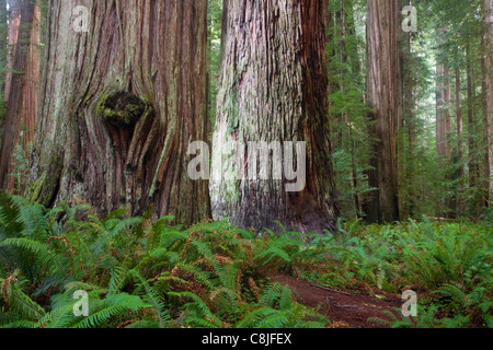CALIFORNIA - Redwood forest in Stout Grove in Jedediah Smith Redwoods State Park part of the Redwood National and - Stock Photo