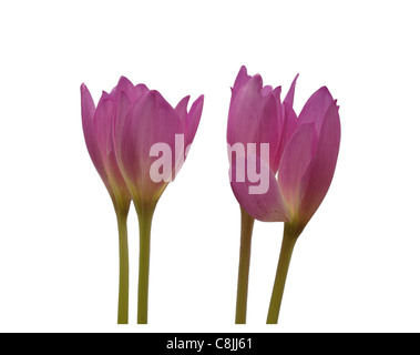 crocus flowers isolated on white background - Stock Photo