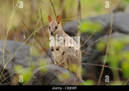 Allied Rock-Wallaby Petrogale assimilis Joey on rock Photographed in Queensland, Australia - Stock Photo