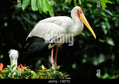 Yellow billed stork at the Bird Park within the Lake Gardens (Taman Tasik Perdana), Kuala Lumpur, Malaysia - Stock Photo