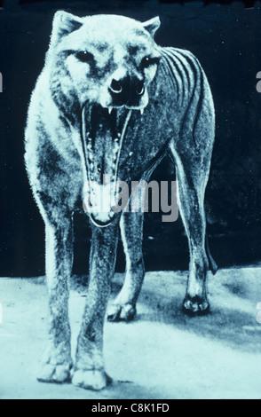 Thylacine Thylacinus cynocephalus Historical  Photo taken during 1930's - Stock Photo