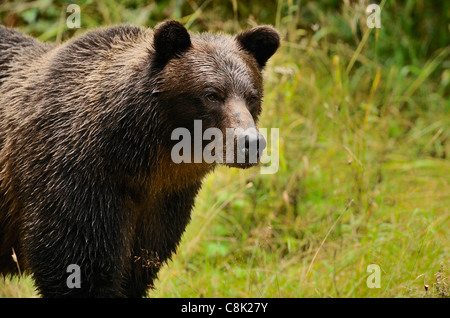 An adult mother grizzly bear standing looking away. - Stock Photo
