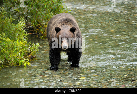 An adult grizzly bear walking forward searching the stream for spawning salmon - Stock Photo