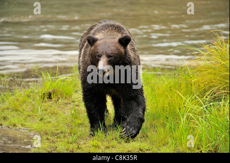 A grizzly bear walking forward - Stock Photo