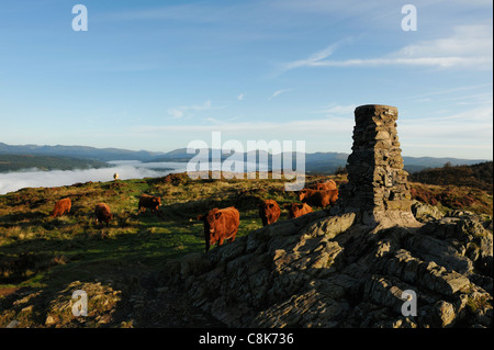 Luing cattle on the summit of Gummers How Lake Windermere with early morning mist - Stock Photo