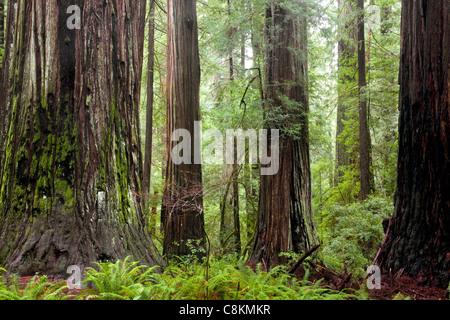 CA00948-00...CALIFORNIA - Towering redwood trees in Rockefeller Grove of Humboldt Redwoods State Park. - Stock Photo