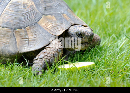 Close up front view of single pet tortoise in garden on grass on a bright day with slice of cucumber - Stock Photo