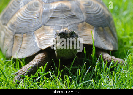 Close up front view of single pet tortoise in garden on grass on a bright day - Stock Photo