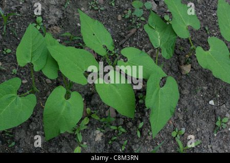 Green bean plants (Phaseolus cultivar) in vegetable garden,mid-June, Michigan USA - Stock Photo