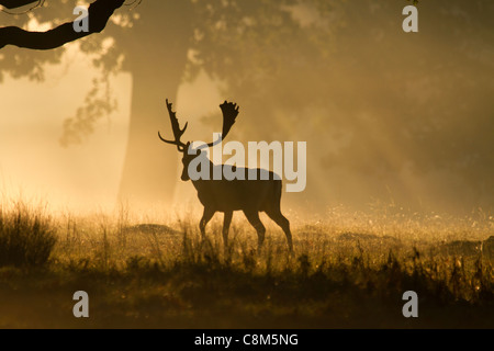 Fallow Deer, Dama dama buck walks away into the early morning light - Stock Photo