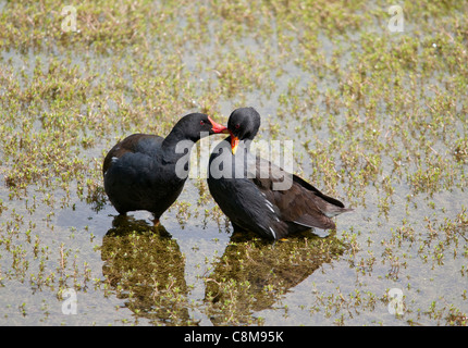 A pair of Coots billing and cooing in preparation to mating, whilst still in the water, which turned out to be successful. - Stock Photo