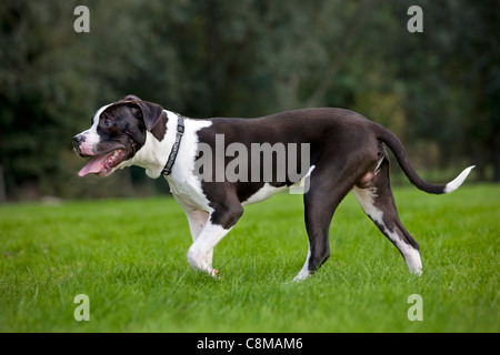 American Staffordshire terrier (Canis lupus familiaris) in garden - Stock Photo