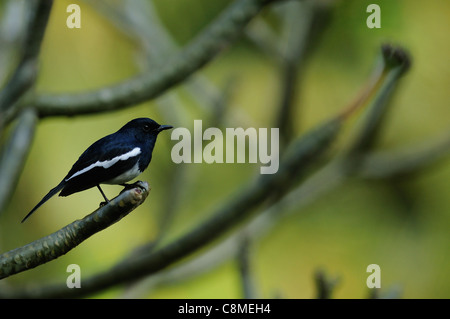 An Oriental Magpie Robin on a tree branch - Stock Photo