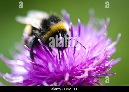 A bee explores f lower looking for pollen - Stock Photo